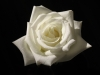 wedding-florists-perth-white-rose